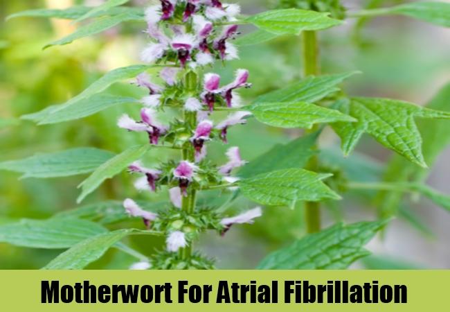 Motherwort For Atrial Fibrillation