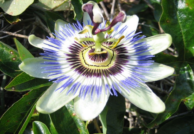 Passion Flower For Insomnia