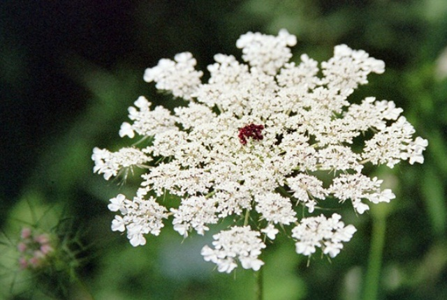 Wild Carrot Seeds Or Queen Anne's Lace