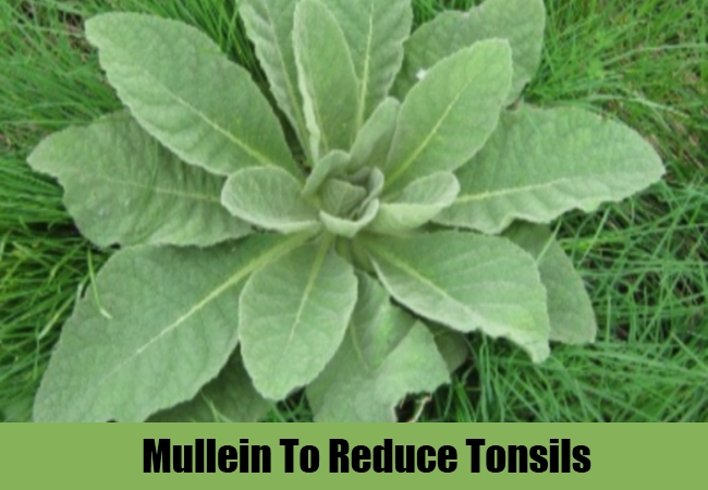 Mullein To Reduce Tonsils