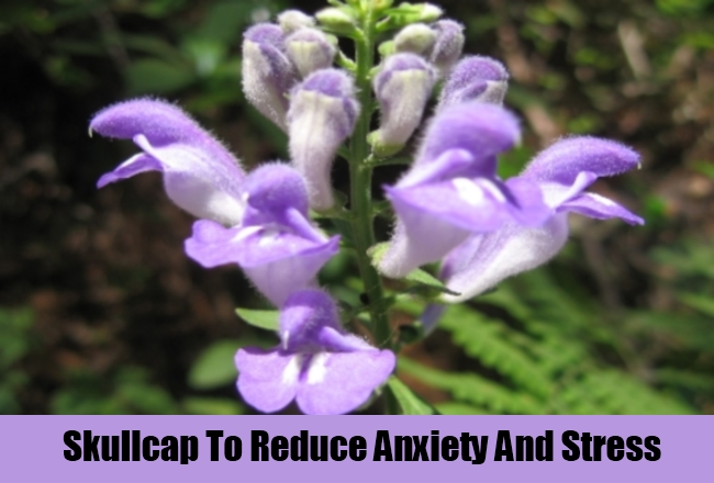 Skullcap To Reduce Anxiety And Stress